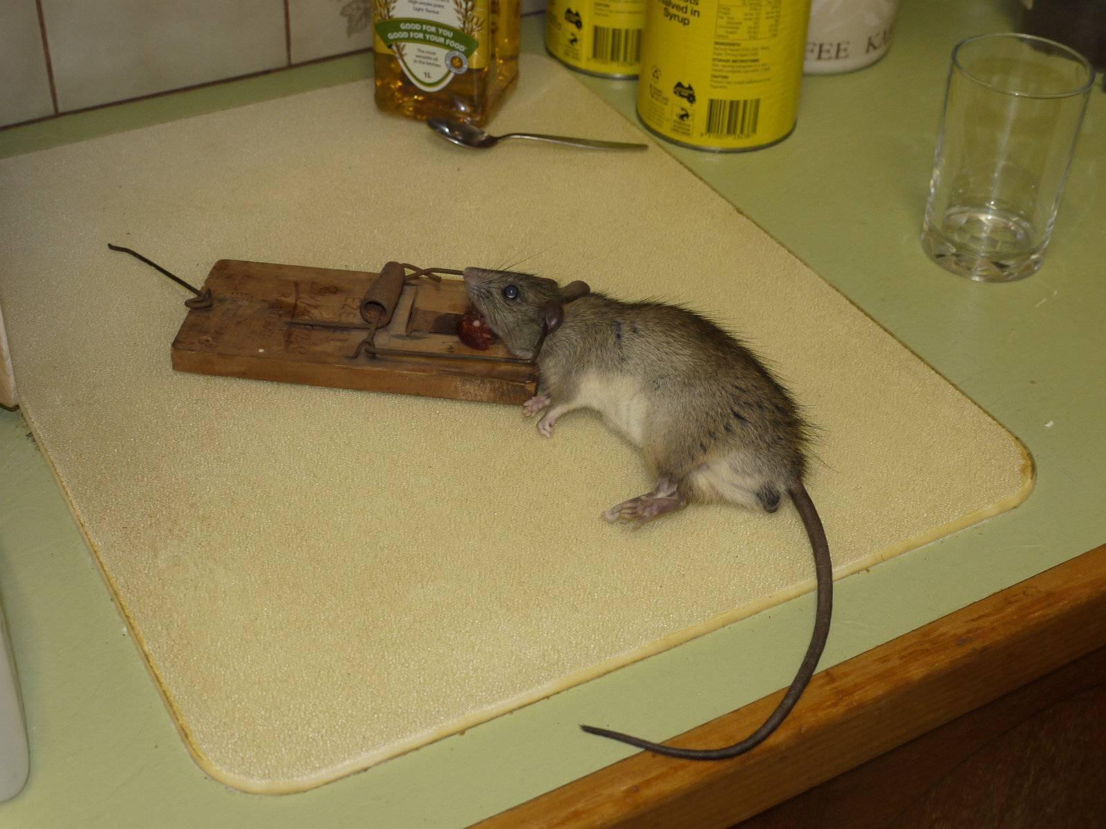 Приманка для мышей в мышеловке, что лучше положить 2020