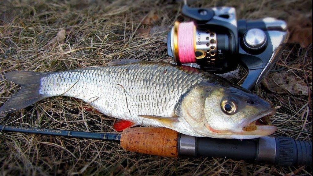 Жерех рыба: (как выглядит, где водится, чем питается шереспер)