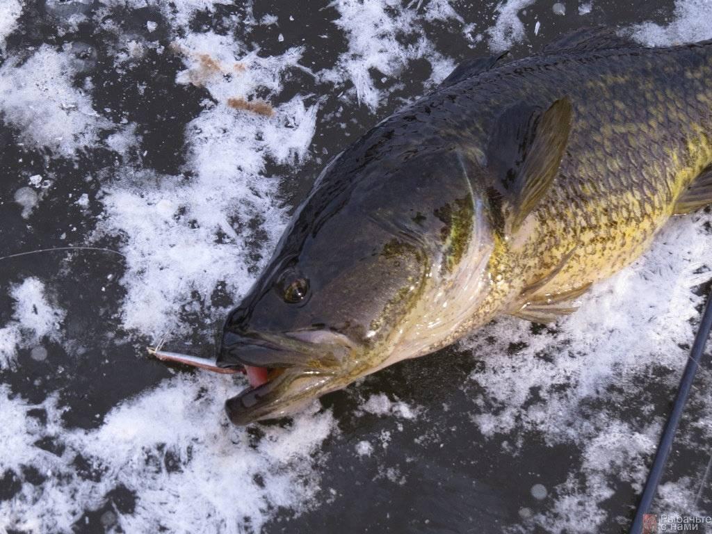 Ловля ротана зимой: озеро, мормышка и куриная шкурка