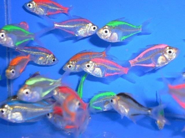 Прозрачная рыба: фотографии, интересные факты и описание. салпа маджоре - прозрачная рыба