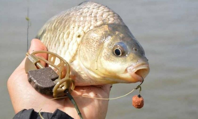 Ловля карася в сентябре: места, время, наживка и прикормка - рыбачок!сайт рыбачок