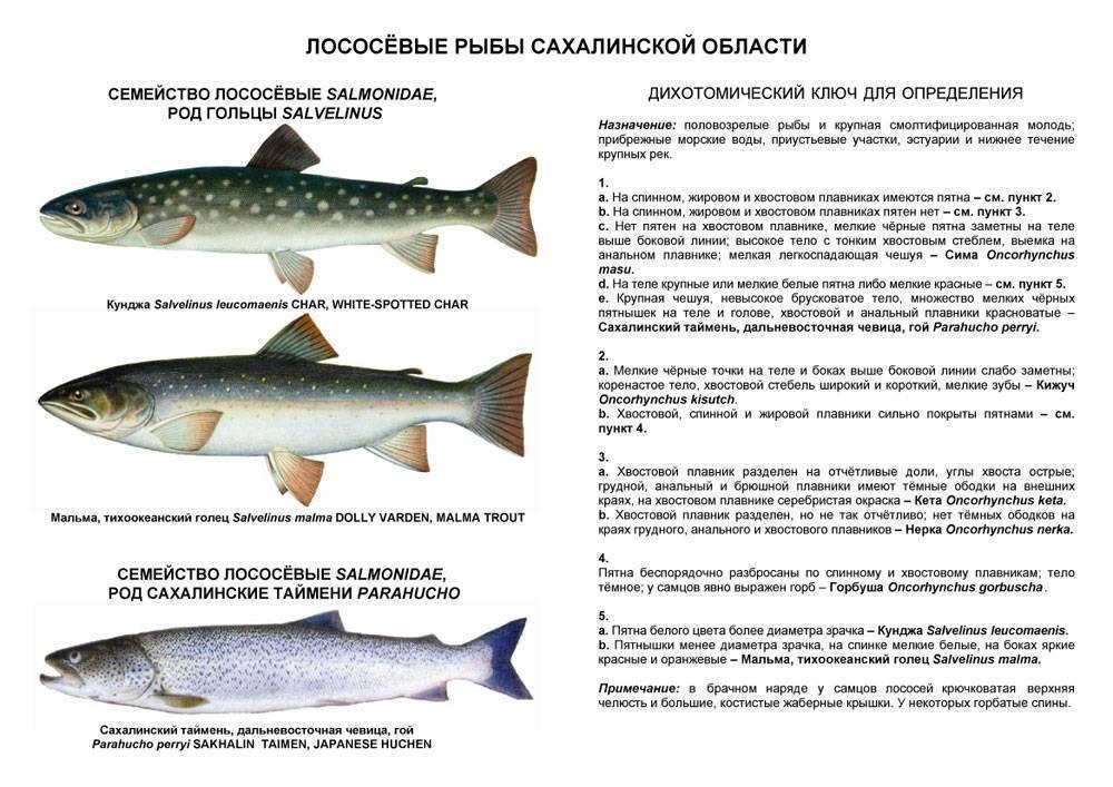 Лосось: что это за рыба, виды, места обитания, приготовление, ловля