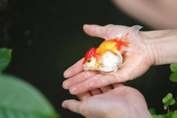 Почему золотая рыбка переворачивается и плавает кверху брюхом?