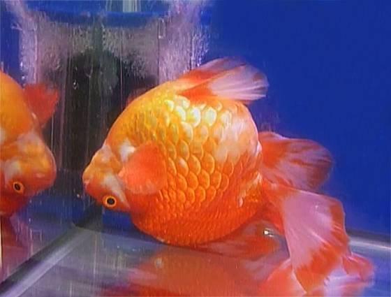 Рыбка плавает кверху брюхом, но дышит: возможные причины, лечение, профилактика