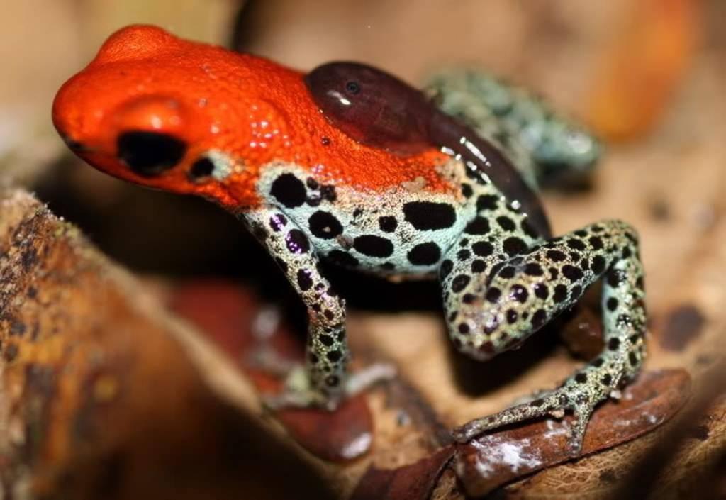 Самые ядовитые лягушки в мире (+ фото) | топкафе