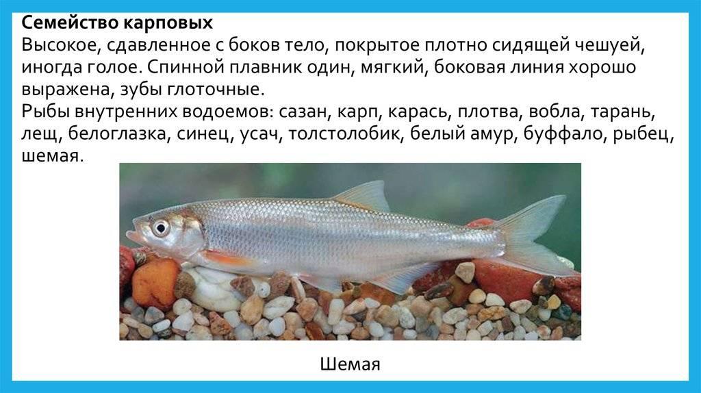 О рыбе веслонос: фото и описание, среда обитания, способы рыбалки и готовки
