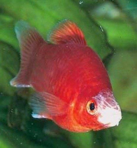 Колумнариоз, или флексибактериоз - симптомы и лечение рыб. фото и видео.