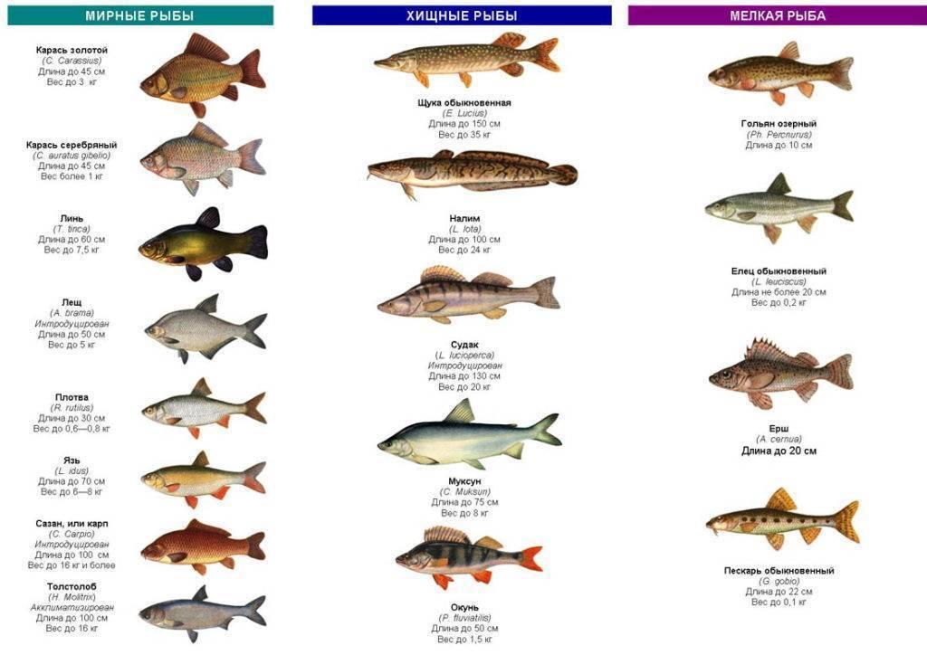 Рыба для жарки: какую лучше выбрать, самые вкусные виды без костей