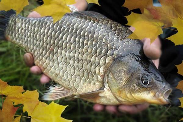 Какую наживку и прикормку использовать при ловле карпа осенью? – рыбалке.нет