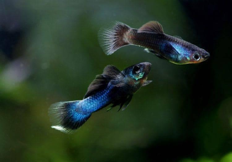 Гуппи рыбки. описание, особенности, содержание и цена рыбок гуппи | животный мир
