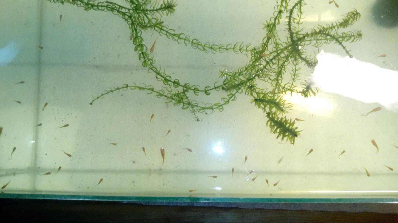 Аквариумная рыбка меченосец: основные виды, содержание, уход и разведение в домашних условиях