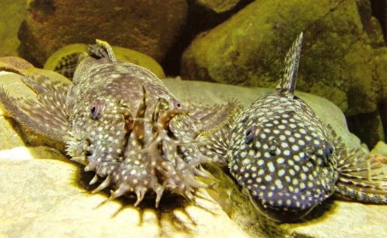 Анциструс звездчатый (сом l181): содержание, разведение (размножение), фото, уход, внешний вид, совместимость, кормление