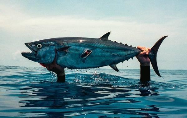 Летучая рыба. описание, особенности, образ жизни и среда обитания летучей рыбы | животный мир