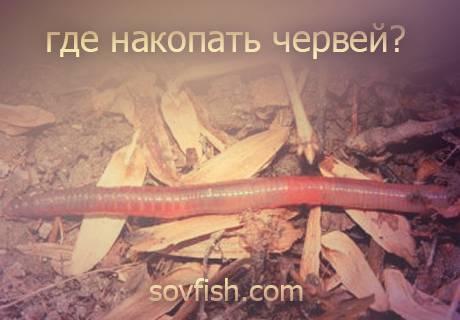 Морские черви для рыбалки: как добыть и сохранить?