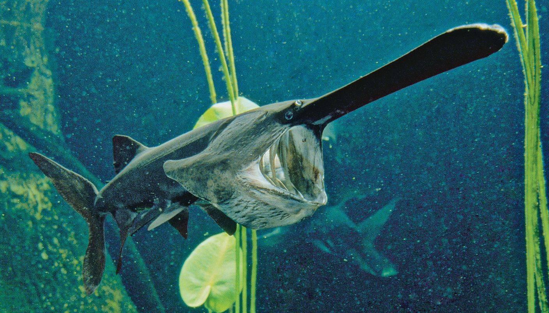 Веслонос: характеристика рыбы, употребление в пищу и рецепты приготовления, специфика ловли веслоносого осетра