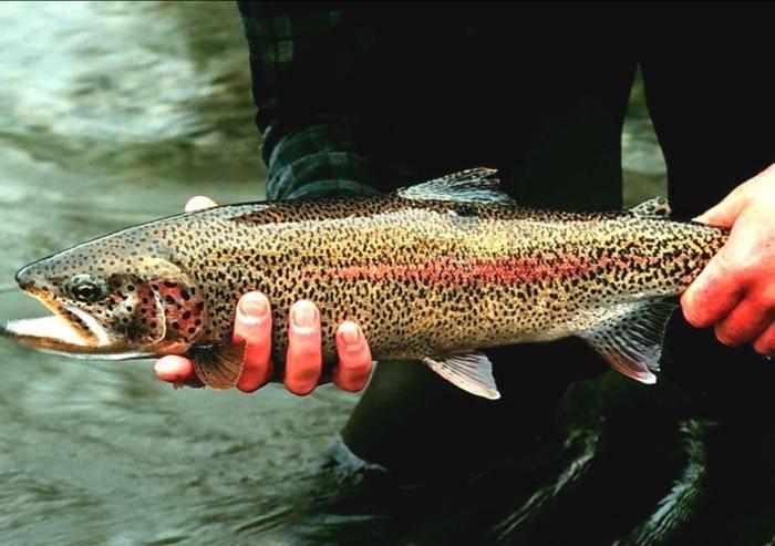 Форель это морская или речная рыба: описание, виды, применение