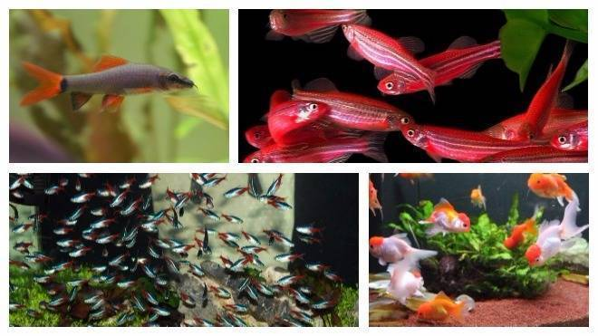 Разведение и размножение рыбок данио