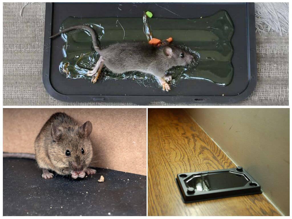 Какую траву боятся мыши и крысы в доме?