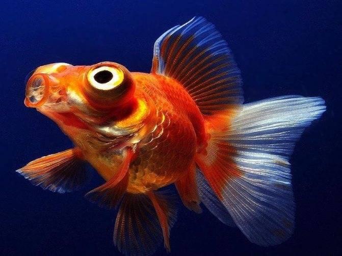 Золотая рыбка: уход,содержание,разведение,совместимость,описание. | аквариумные рыбки