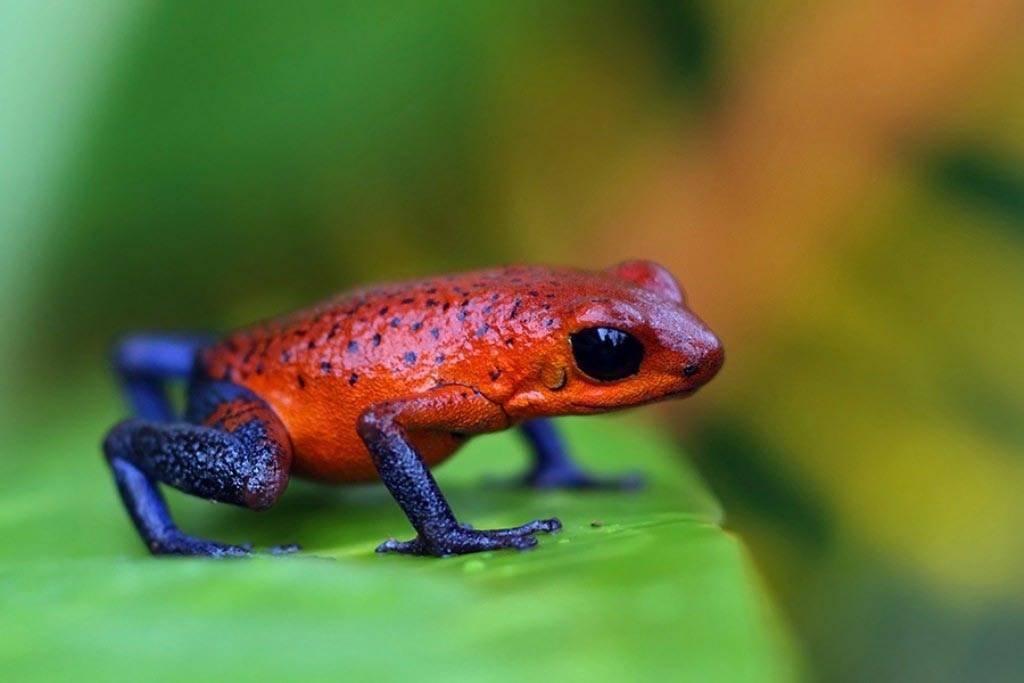 Самые ядовитые лягушки в мире: наиболее опасные виды лягушек на нашей планете