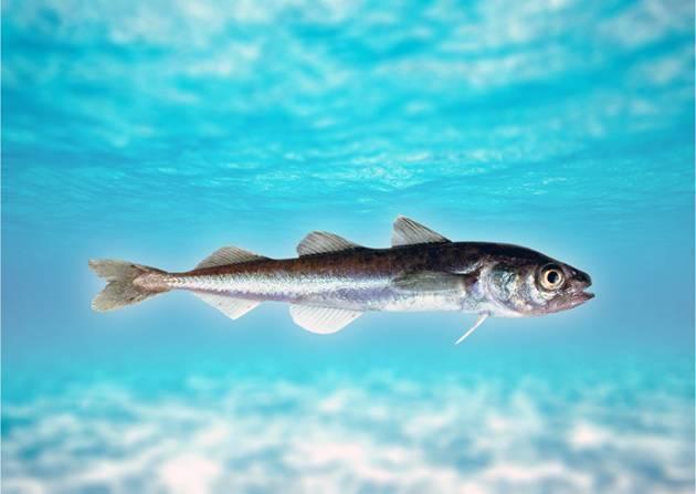 Мойва – польза и вред знаменитой морской рыбы