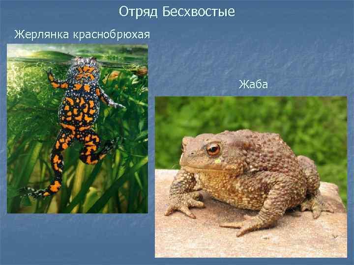 Лягушки, чесночницы и жабы чем питаются, как зимуют
