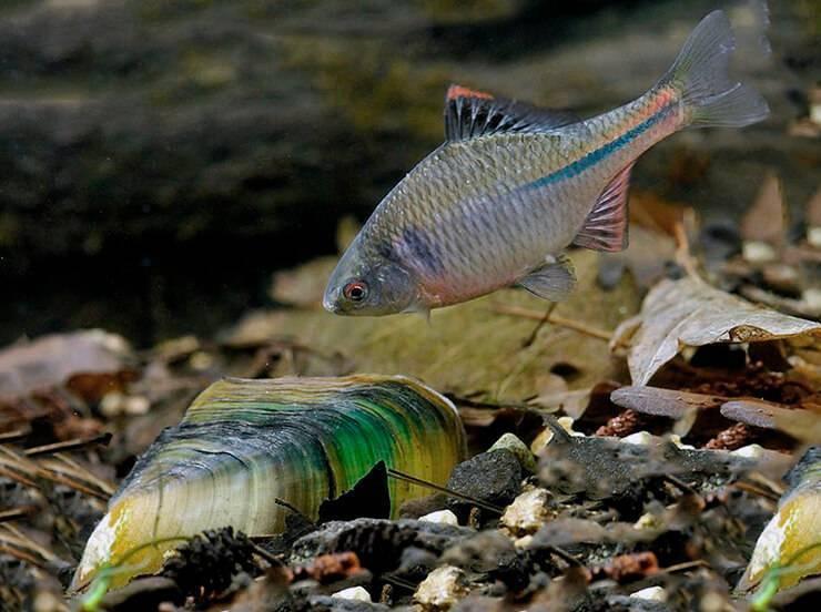 Рыбка горчак — ловись рыбка