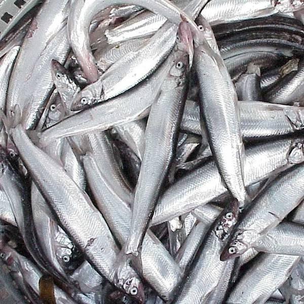 Рыба шамайка: особенности внешнего вида и нереста, запрет на вылов