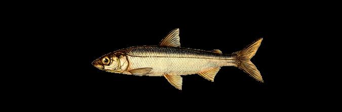 Ряпушка: что за рыба, где водится, описание с фото, рецепты