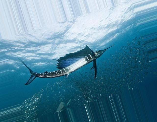 Где водится рыба вомер и является ли она ядовитой