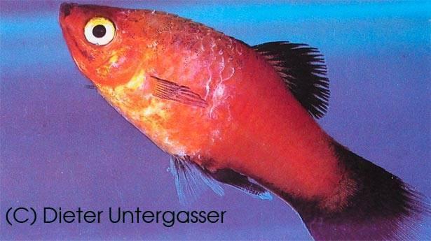 Колумнариоз у рыб: симптомы и лечение в общем аквариуме