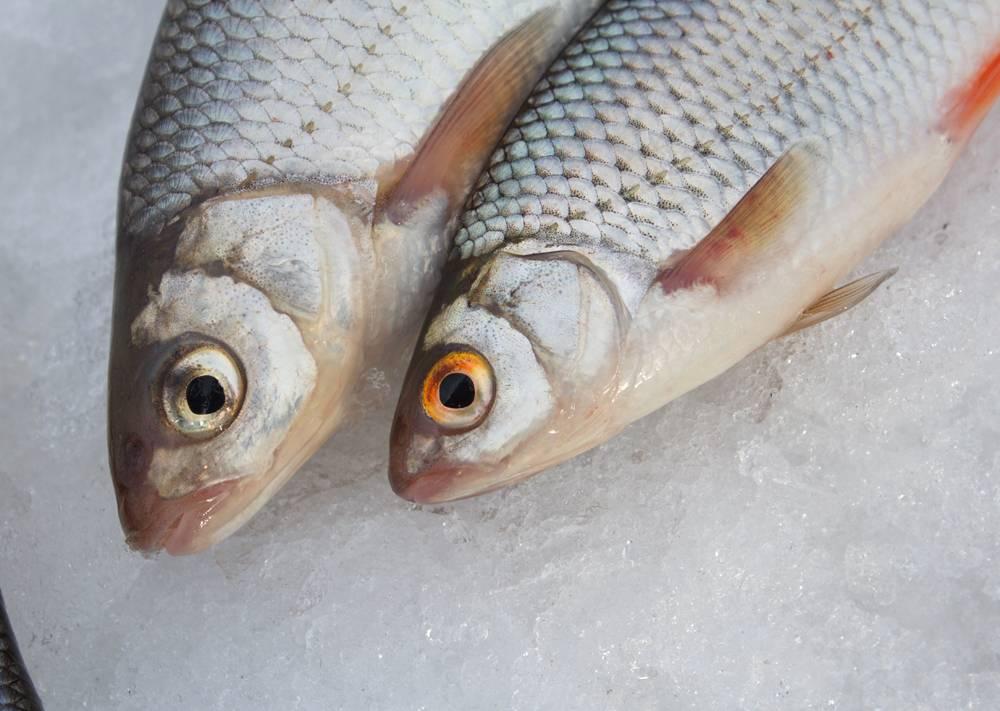 Чебак: что за рыба и как её ловить