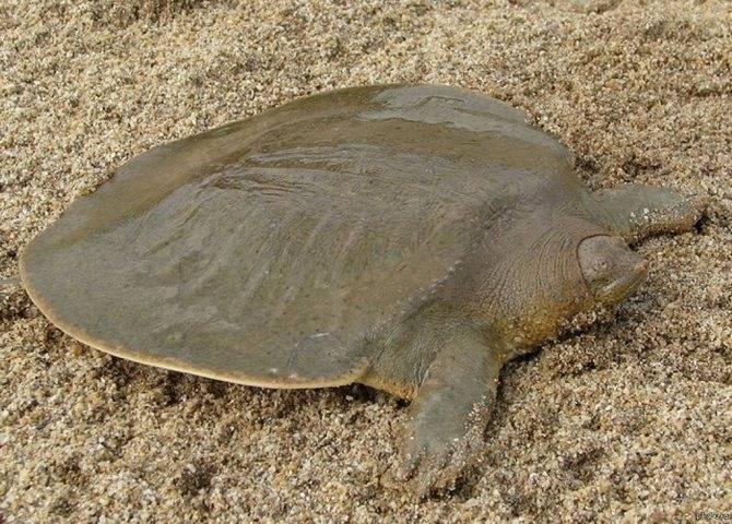 Китайский трионикс. мягкотелая дальневосточная черепаха