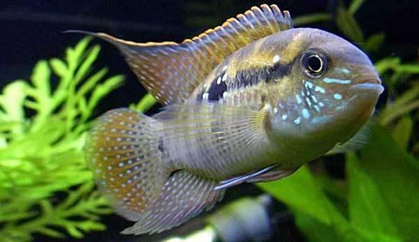 Лабиринтовые рыбки для домашнего аквариума: перечень и особенности содержания