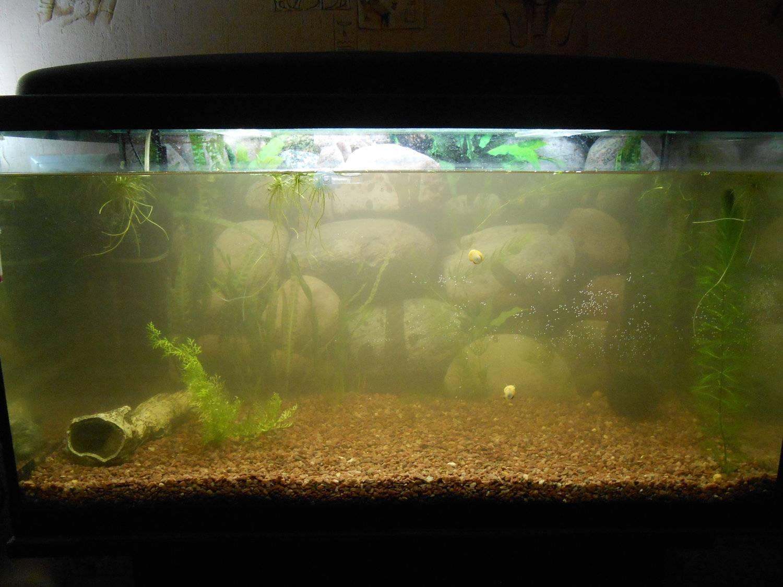 Мутная вода в аквариуме, что делать? содержание аквариума :: syl.ru
