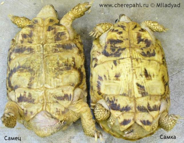 Рекомендации, как точно определить пол красноухой черепахи. отличия по общим признакам - твой питомец