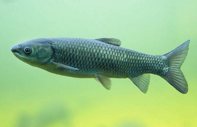 На что ловить белого амура: рыбные места, как и где ловить зимой, весной, летом и осенью?