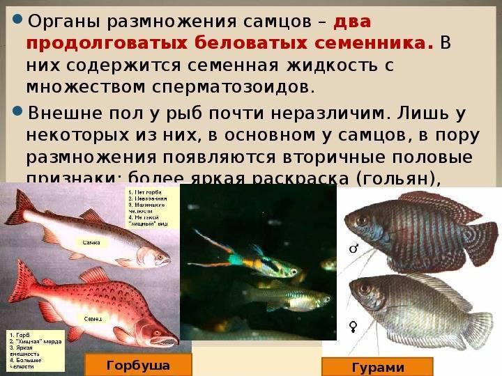 Как спариваются рыбы видео - животные питомцы