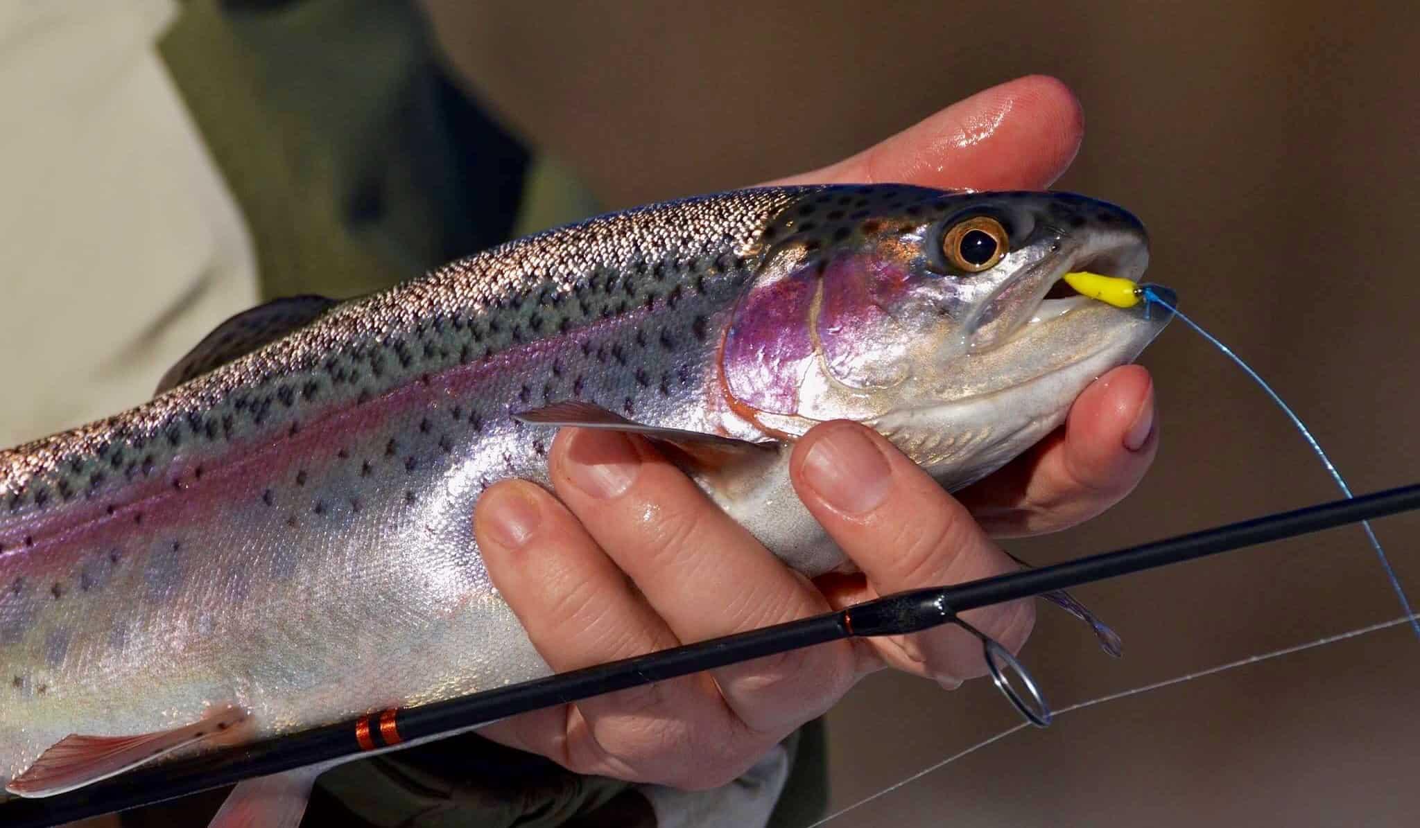 13 лучших приманок и наживок для ловли форели, секреты улова