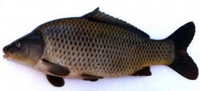 Как выглядит рыба-гибрид? описание, среда обитания, преимущества перед чистыми формами :: syl.ru
