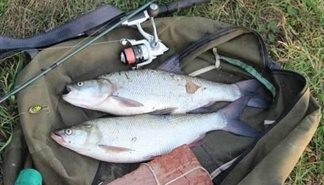 Ловля жереха: рыбалка на спиннинг с катмастером, на что клюет