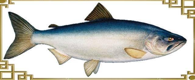 Красная рыба кета - описание и фото, поведение и места обитания, икра и нерест