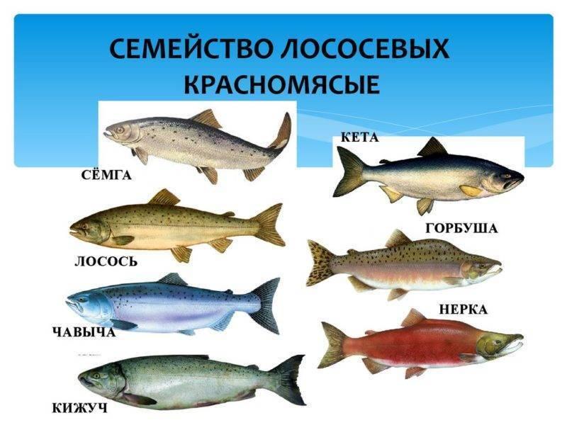 Лосось и семга — чем отличаются эти рыбы? | в чем разница