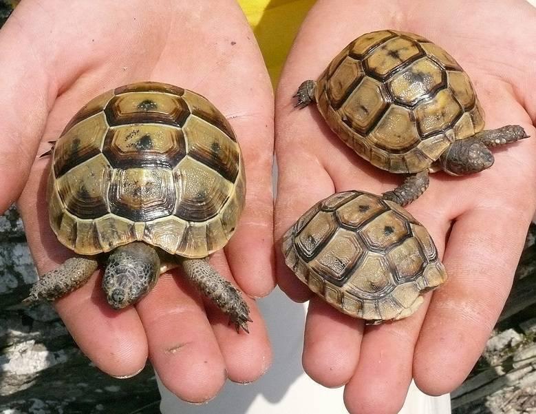 Какую черепаху лучше держать дома. как выбрать черепаху для дома? какую лучше черепаху выбрать? практические рекомендации1 min read