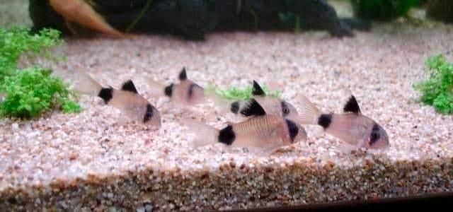 Крапчатый сомик (32 фото): описание рыбки крапчатый коридорас, особенности содержания и уход за аквариумным сомом. как отличить самку от самца? разведение в домашних условиях