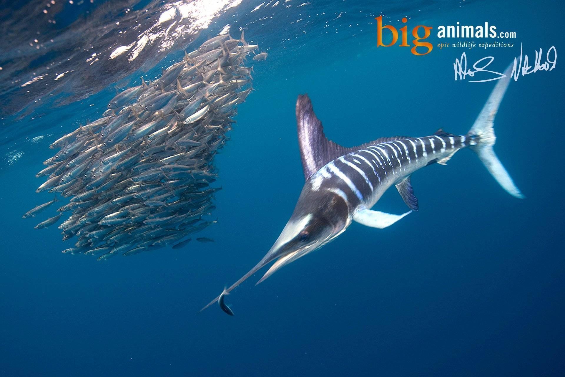 Какую рыбу назвать самой быстрой в мире