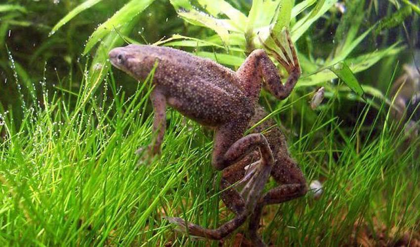 Аквариумные лягушки: содержание,уход,совместимость,разведение,описание .