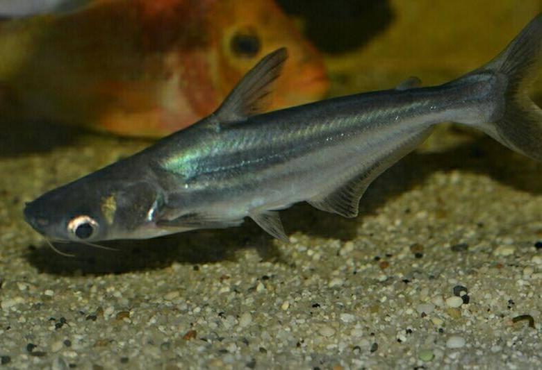 Акулий сомик-аквариумная рыбка | домашний аквариум акулий сомик – домашний аквариум