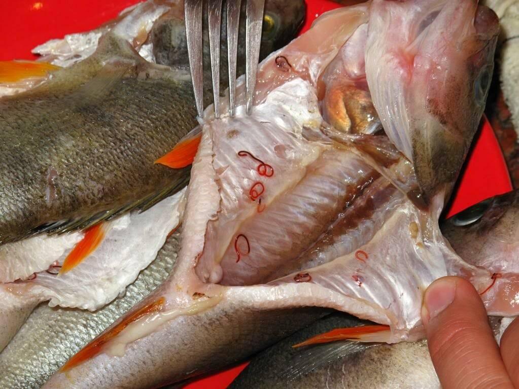 Солитер в рыбе: опасен ли он для человека, можно ли есть зараженную рыбу