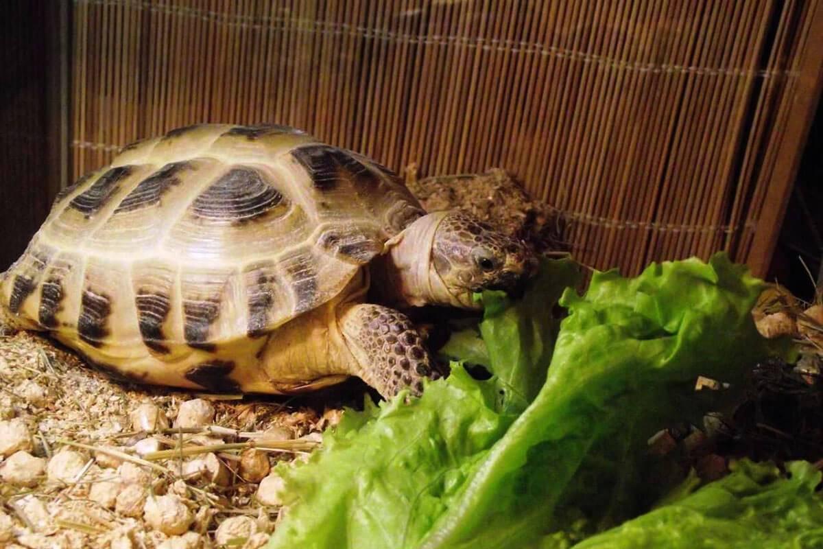 Рацион сухопутных черепах: правильный подход